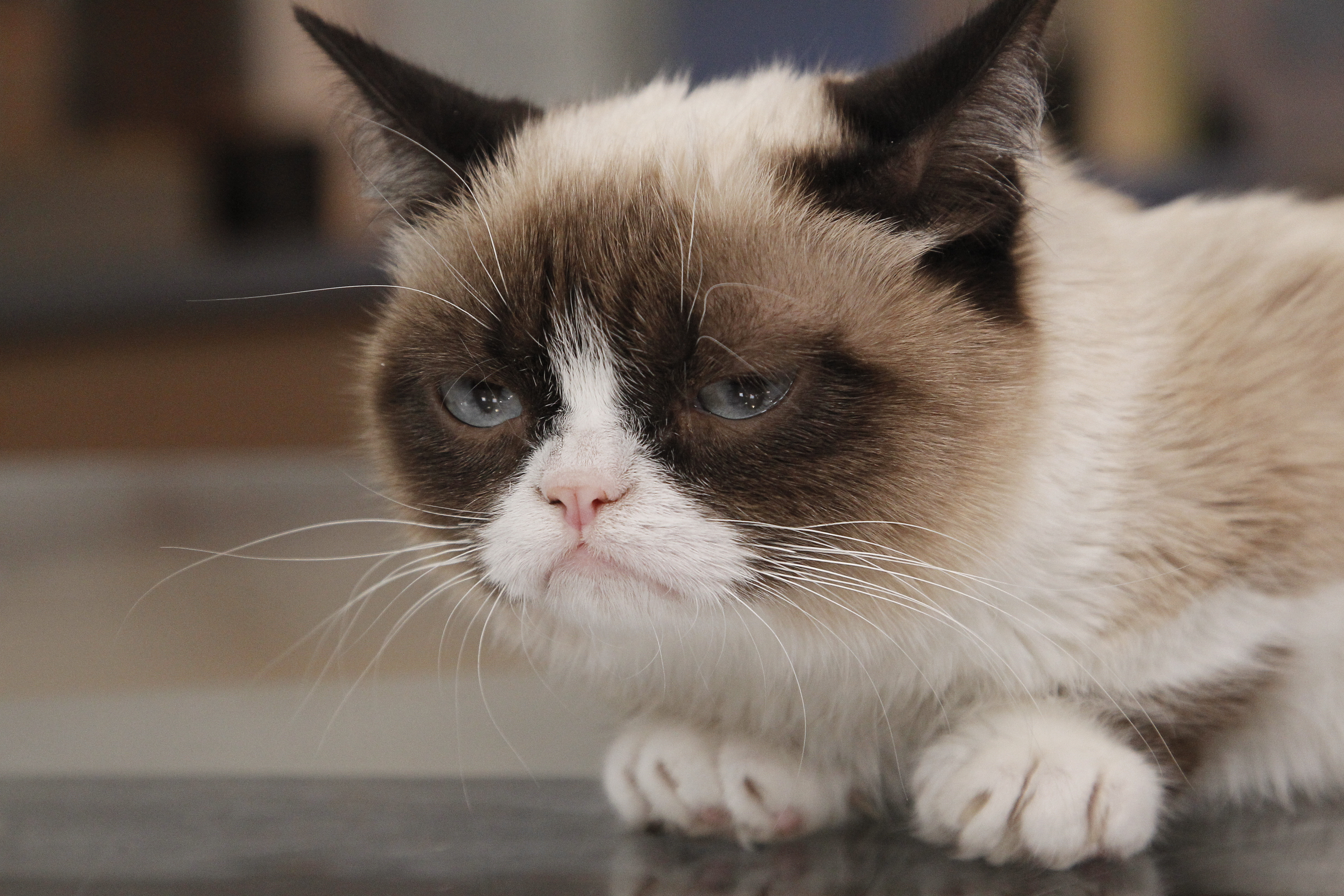 Funny Face Grumpy Cat HD Picture